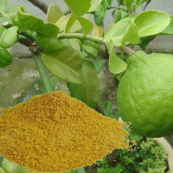 Combava citrus