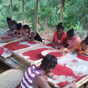 Trieuses de baies roses sur la côte-est de Madagascar