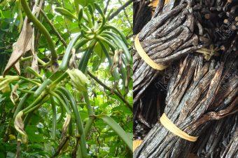 La culture de la vanille dans la SAVA Madagascar