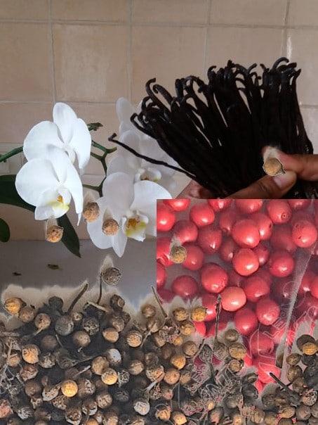 Le poivre voatsiperifery, les baies roses et la vanille